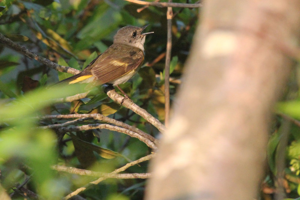American Redstart / 13 May / Back Bay NWR