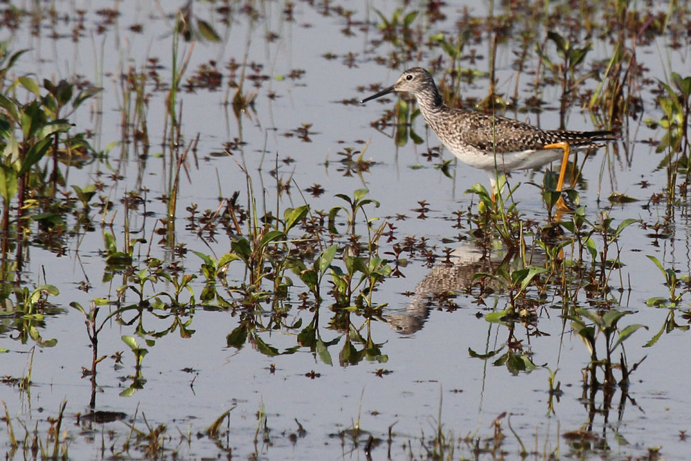 Lesser Yellowlegs / 13 May / Princess Anne WMA Whitehurst Tract