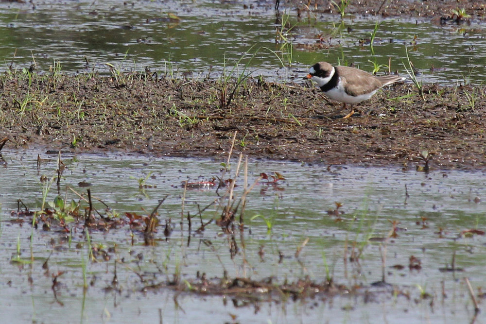 Semipalmated Plover / 13 May / Princess Anne WMA Whitehurst Tract