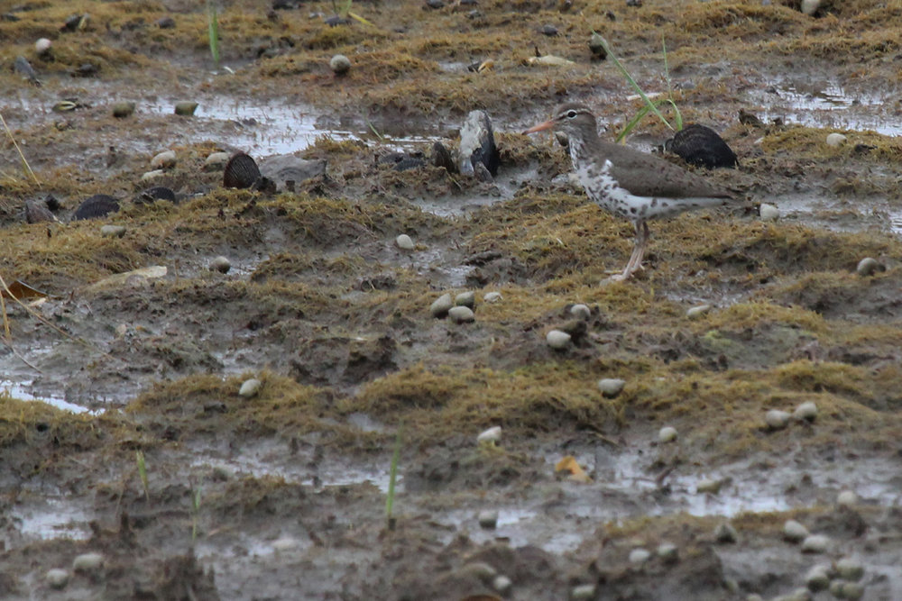 Spotted Sandpiper / 18 May / Pleasure House Point NA