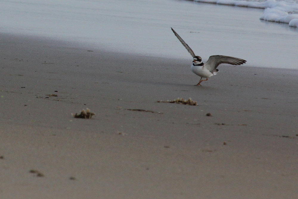 Semipalmated Plover / 20 May / Back Bay NWR