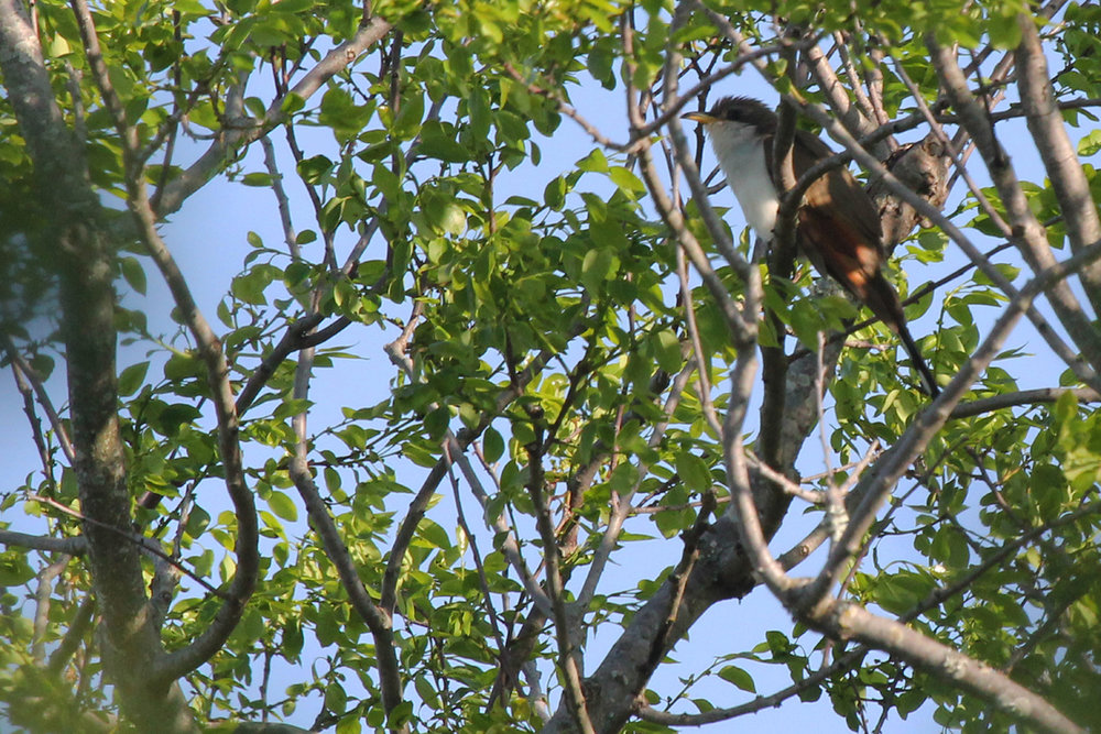 Yellow-billed Cuckoo / 11 May / Back Bay NWR