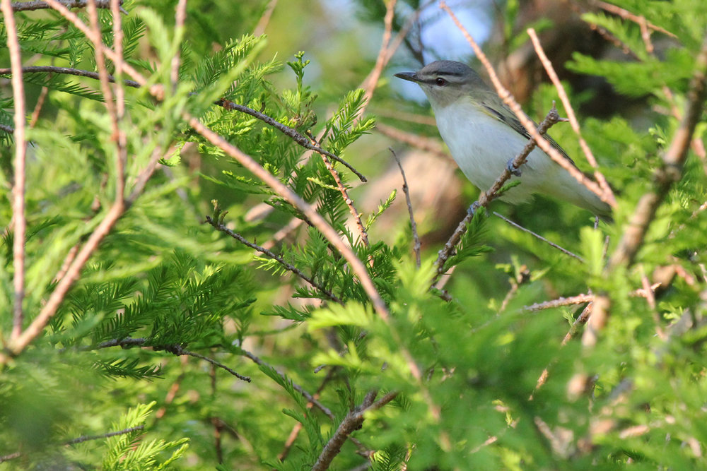 Red-eyed Vireo / 11 May / Back Bay NWR
