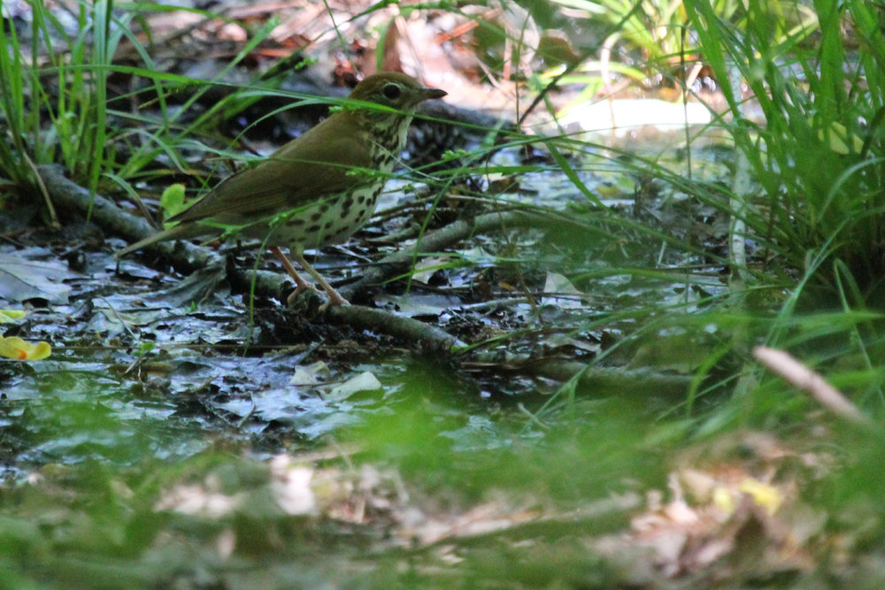 Wood Thrush / 12 May / Stumpy Lake NA