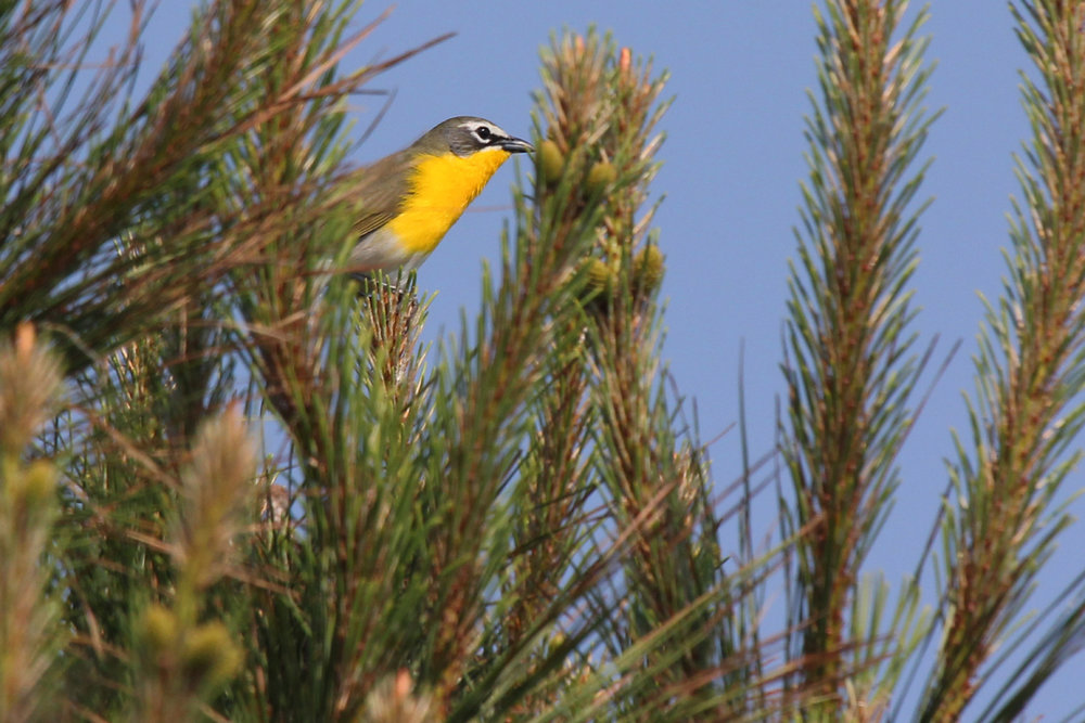 Yellow-breasted Chat / 13 May / Princess Anne WMA Whitehurst Tract
