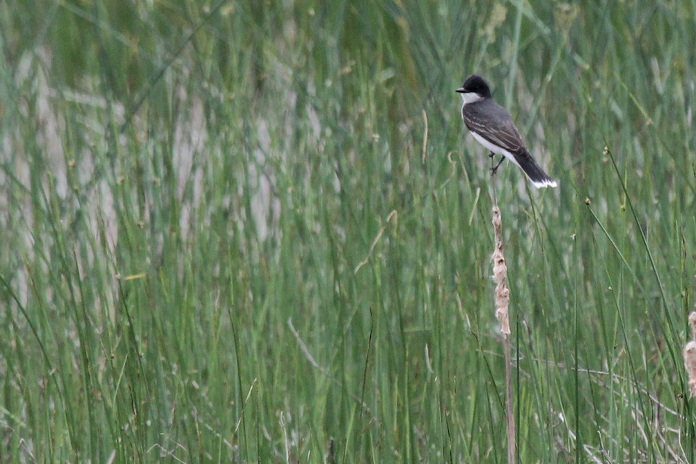 Eastern Kingbird / 19 May / Princess Anne WMA Whitehurst Tract