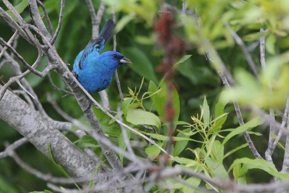 Indigo Bunting / 15 May / Back Bay NWR