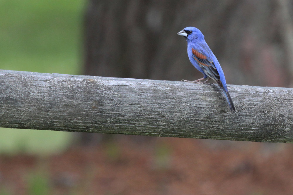 Blue Grosbeak / 20 May / Campbells Landing Park