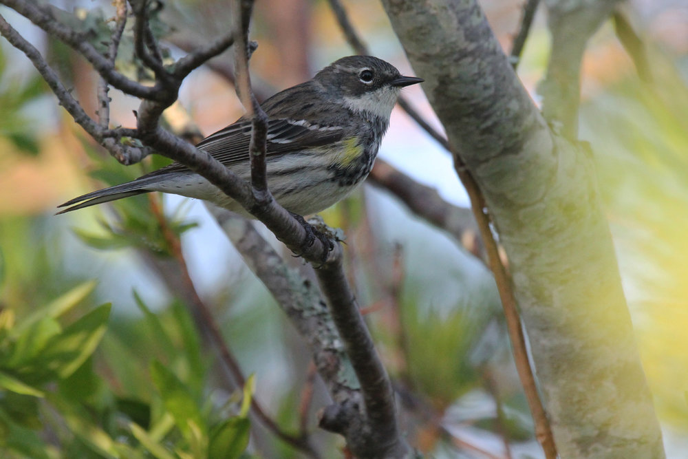 Yellow-rumped Warbler (Myrtle) / 11 May / Back Bay NWR
