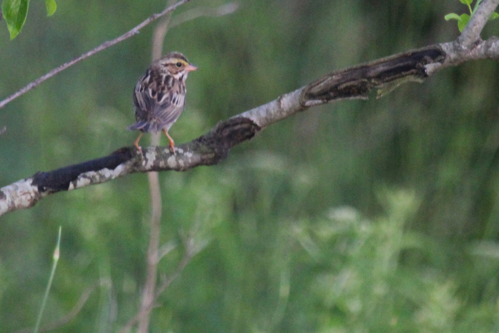 Savannah Sparrow (Savannah) / 11 May / Back Bay NWR