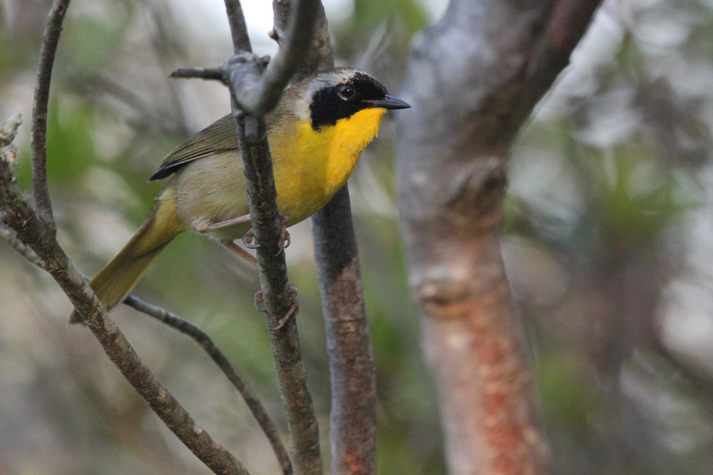 Common Yellowthroat / 12 May / Back Bay NWR