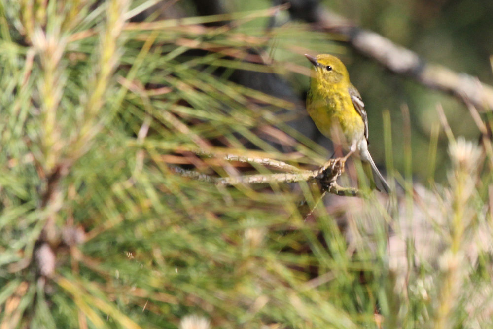 Pine Warbler / 12 May / Back Bay NWR