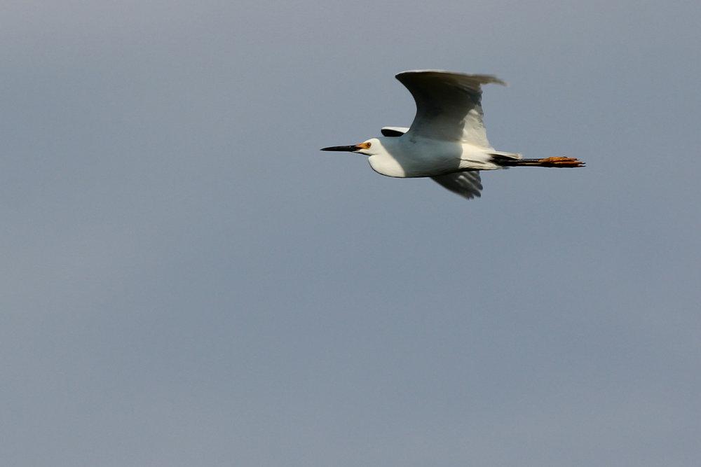 Snowy Egret / 12 May / Back Bay NWR