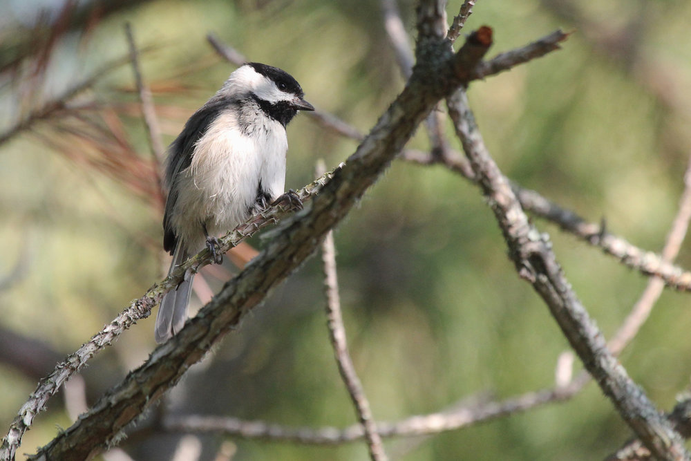 Carolina Chickadee / 12 May / Back Bay NWR