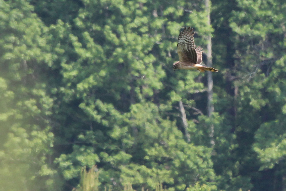 Northern Harrier / 13 May / Indian Creek Rd.