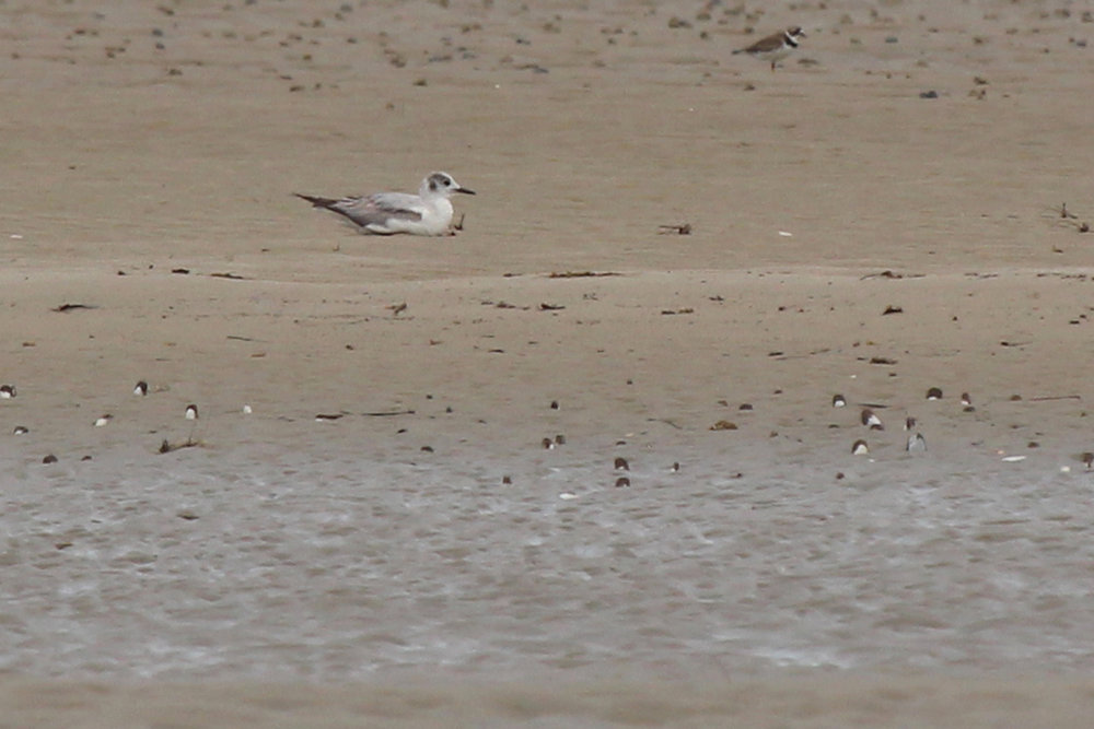 Bonaparte's Gull / 18 May / Pleasure House Point NA