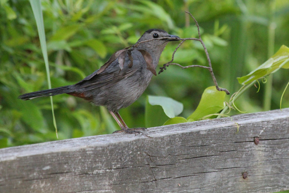 Gray Catbird / 14 May / Back Bay NWR
