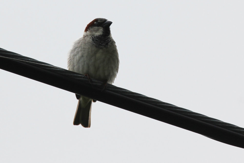 House Sparrow / 20 May / Fitztown Rd.