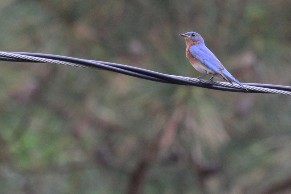 Eastern Bluebird / 20 May / Campbells Landing Park