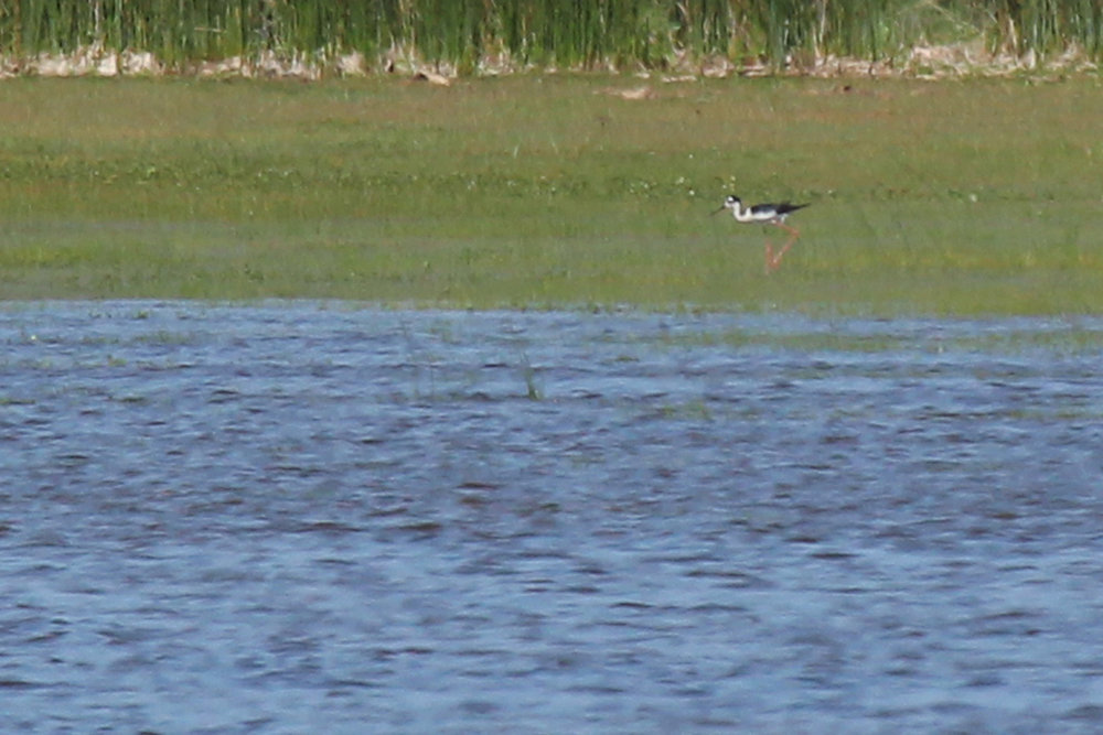 Black-necked Stilt / 25 May / Back Bay NWR