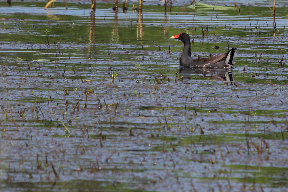 Common Gallinule / 27 May / Princess Anne WMA Whitehurst Tract