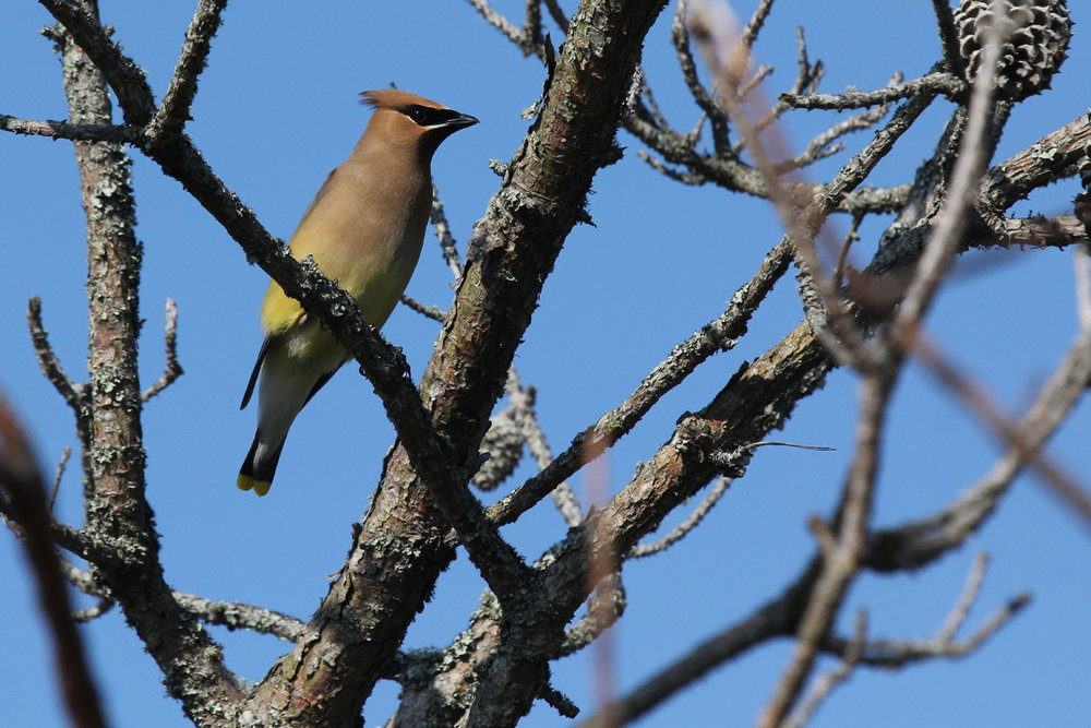 Cedar Waxwing / 25 May / Back Bay NWR