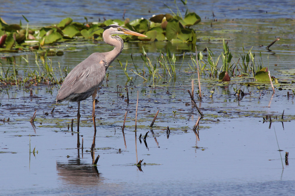 Great Blue Heron (Blue Morph) / 25 May / Back Bay NWR
