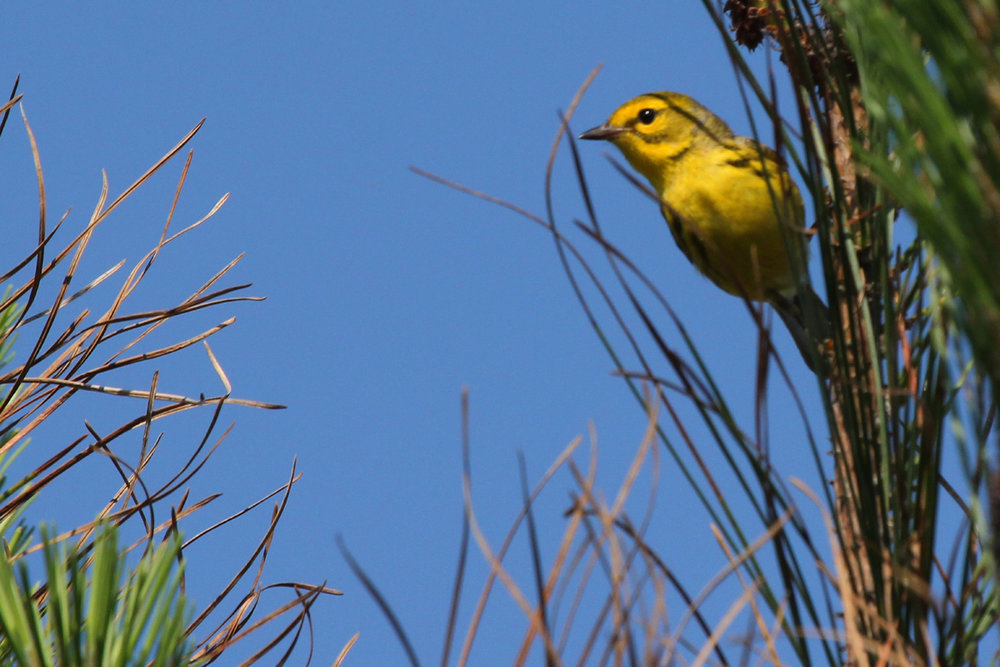 Prairie Warbler / 25 May / Back Bay NWR