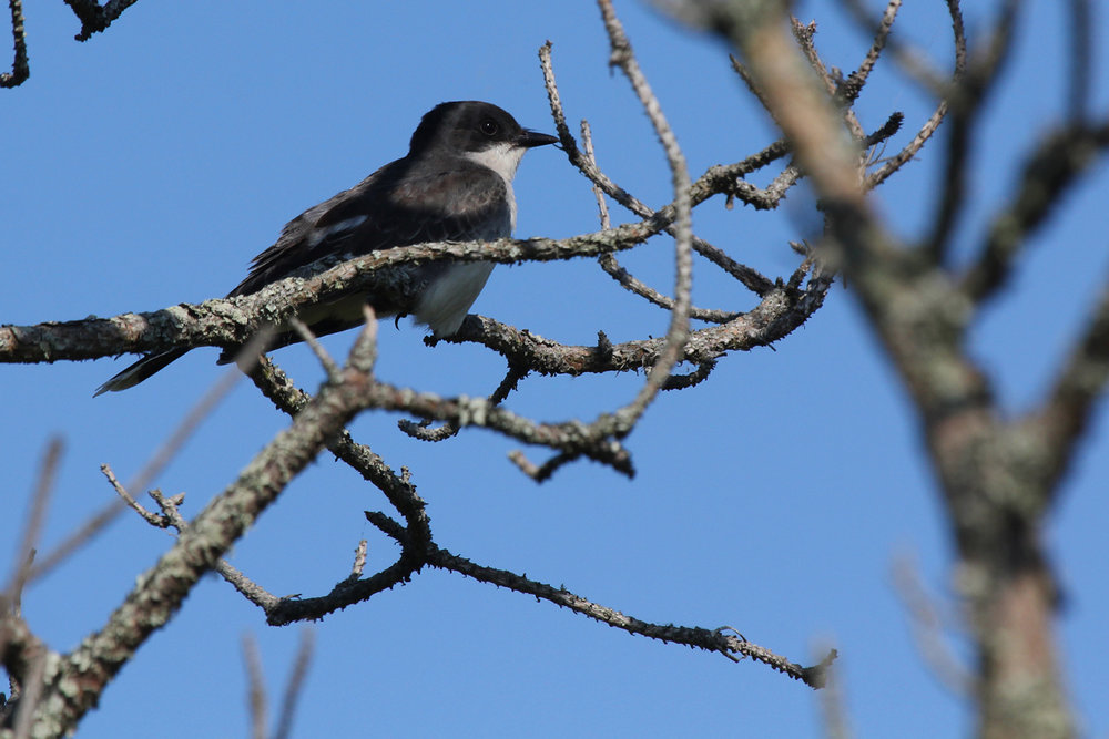 Eastern Kingbird / 25 May / Back Bay NWR