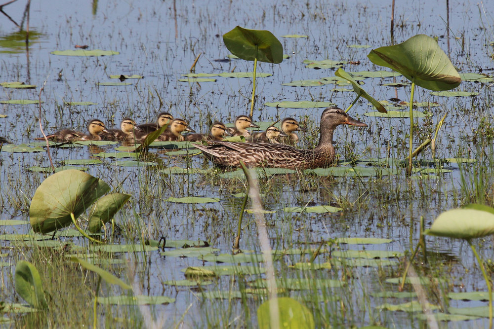 Mallards / 25 May / Back Bay NWR