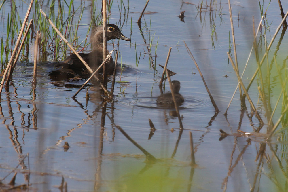 Wood Ducks / 27 May / Princess Anne WMA Whitehurst Tract