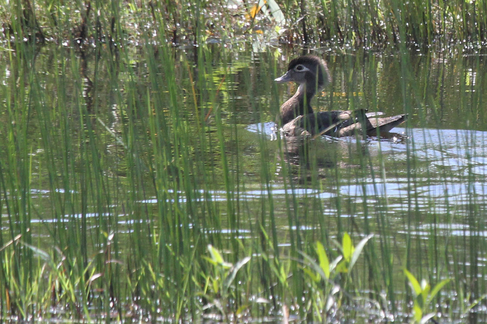 Wood Duck / 27 May / Princess Anne WMA Whitehurst Tract