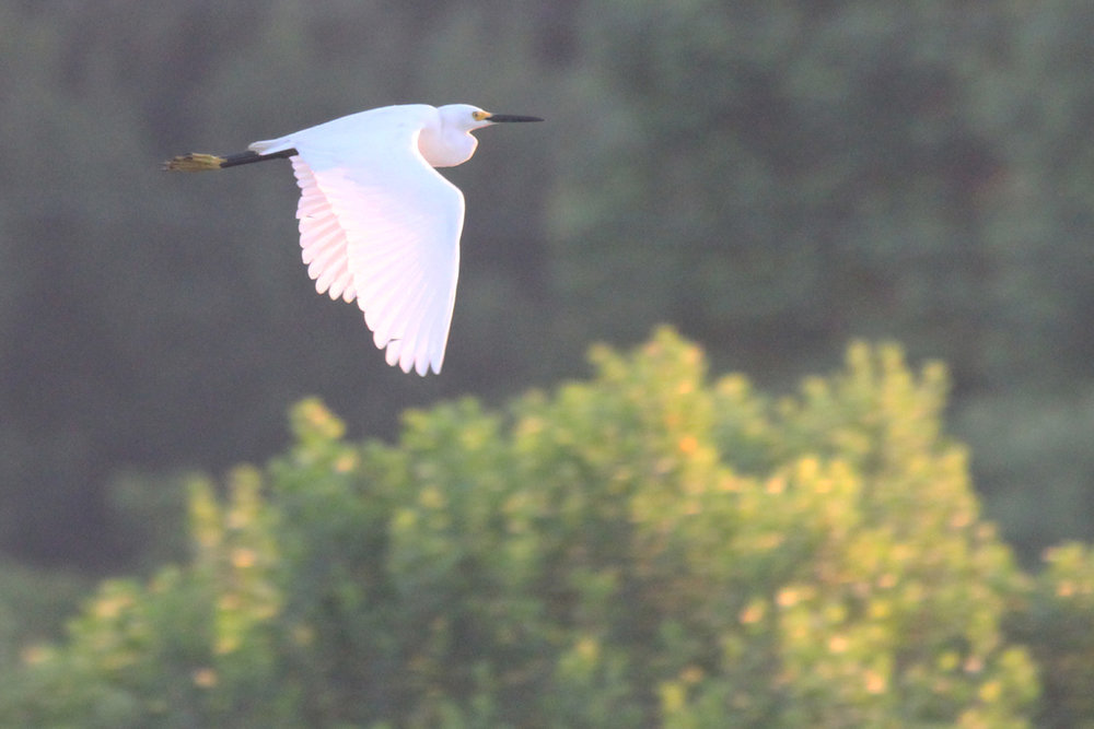 Snowy Egret / 2 Jun / Princess Anne WMA Whitehurst Tract