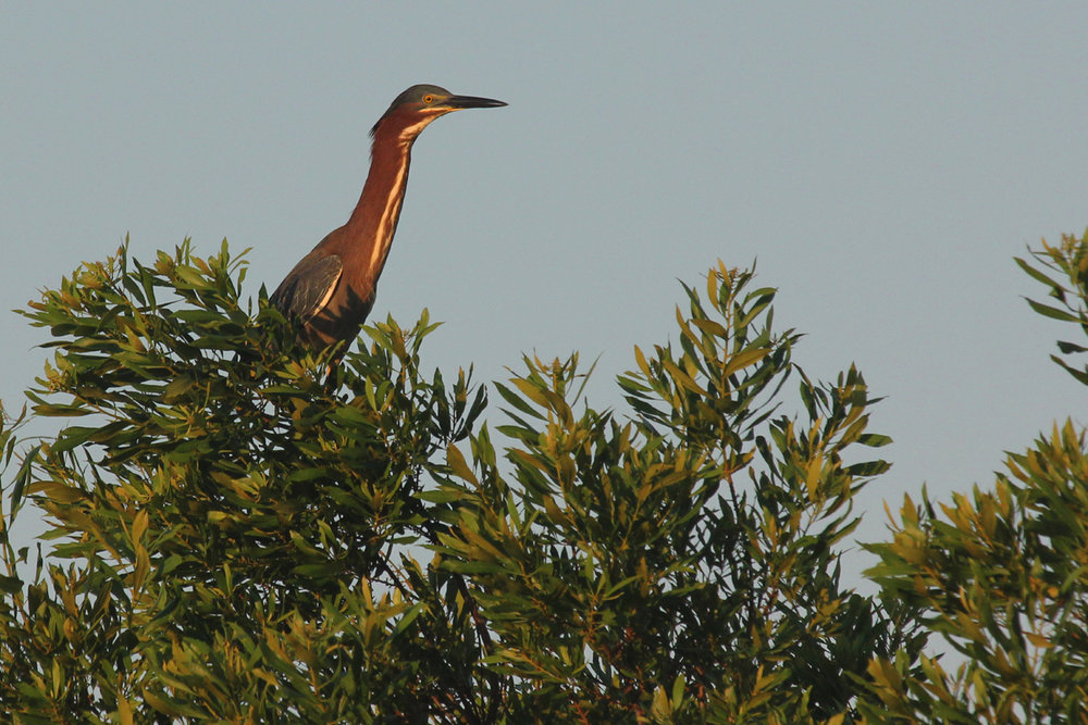 Green Heron / 2 Jun / Princess Anne WMA Whitehurst Tract