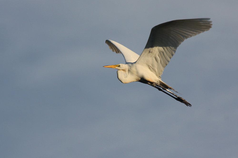 Great Egret / 2 Jun / Princess Anne WMA Whitehurst Tract