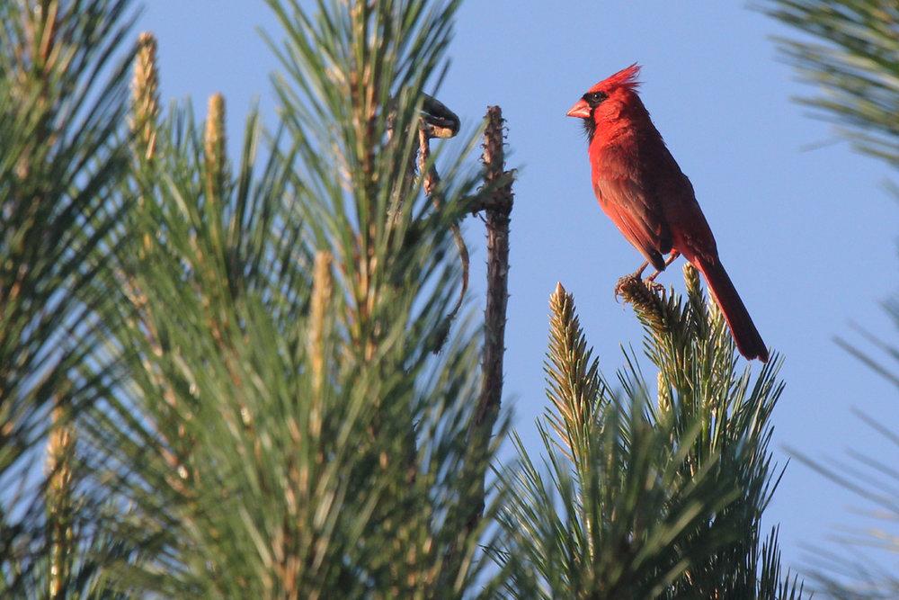 Northern Cardinal / 2 Jun / Princess Anne WMA Whitehurst Tract