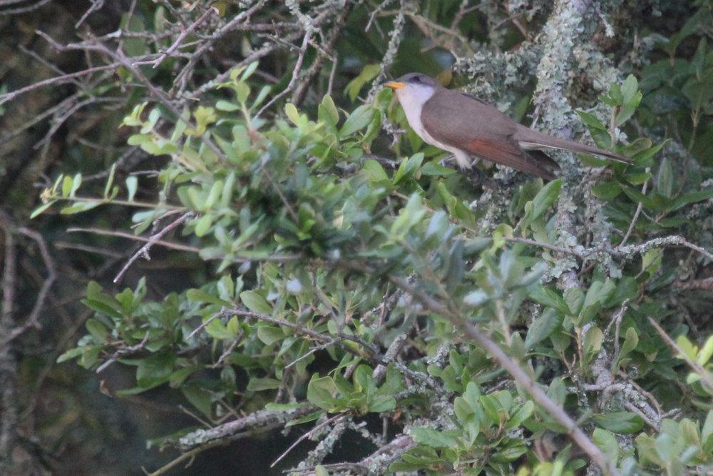 Yellow-billed Cuckoo / 3 Jun / Back Bay NWR
