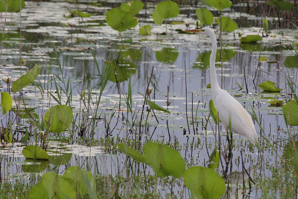 Great Egret / 3 Jun / Back Bay NWR