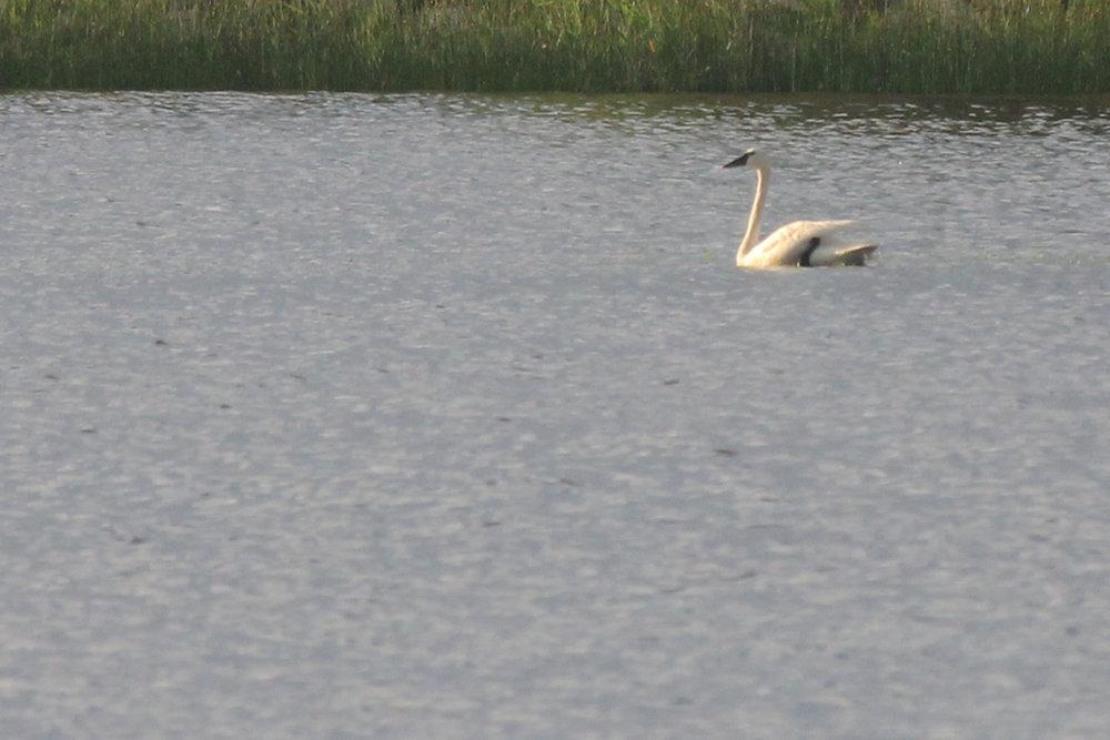 Tundra Swan / 3 Jun / Back Bay NWR