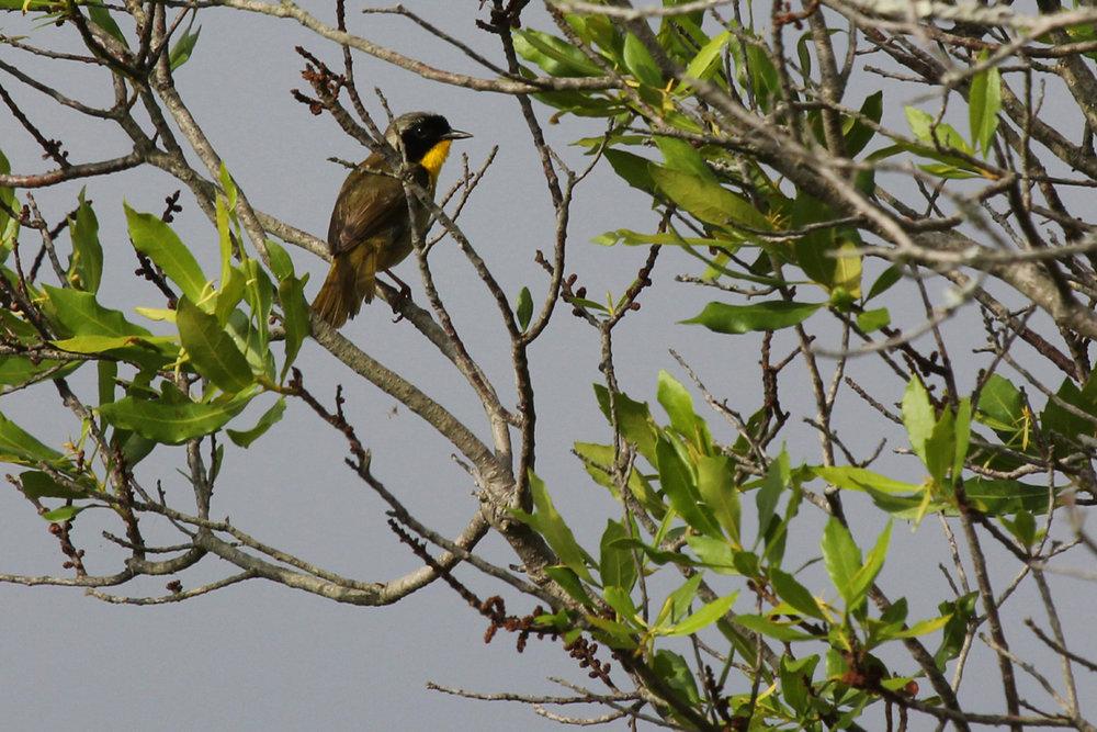 Common Yellowthroat / 3 Jun / Back Bay NWR