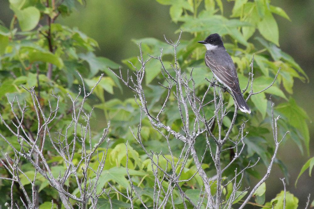 Eastern Kingbird / 3 Jun / Back Bay NWR