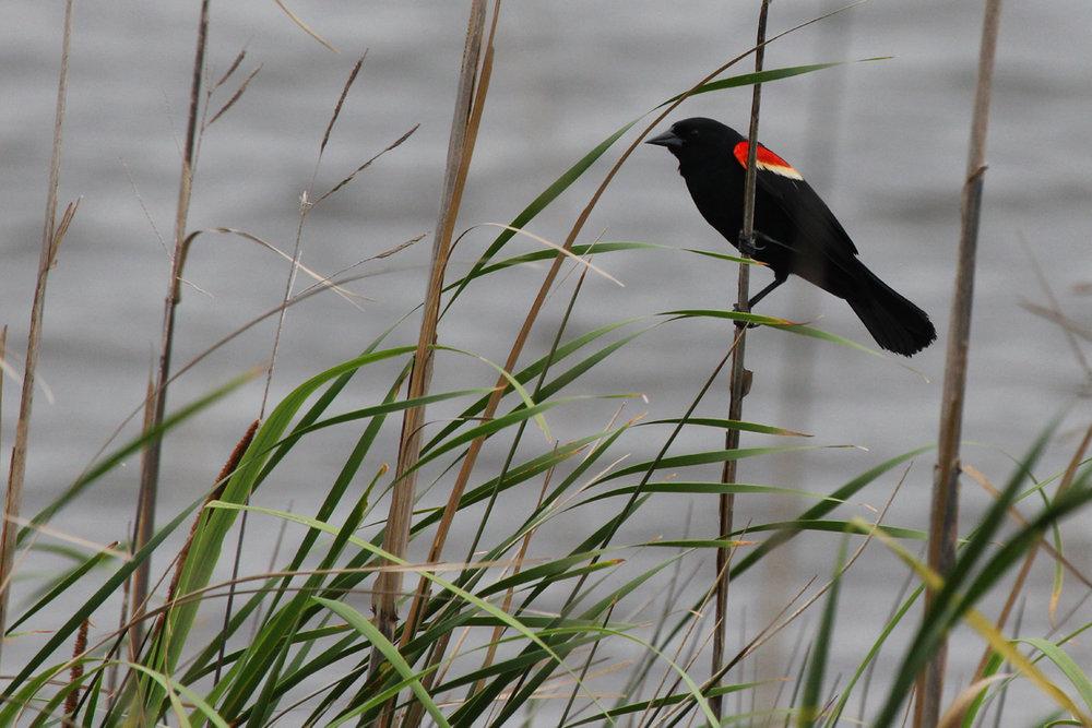 Red-winged Blackbird / 3 Jun / Back Bay NWR
