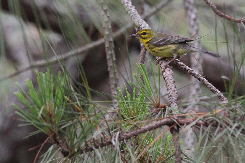 Prairie Warbler / 3 Jun / Back Bay NWR
