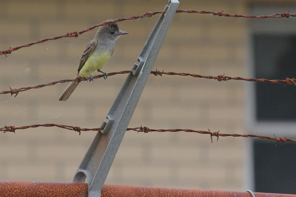 Great Crested Flycatcher / 3 Jun / Back Bay NWR