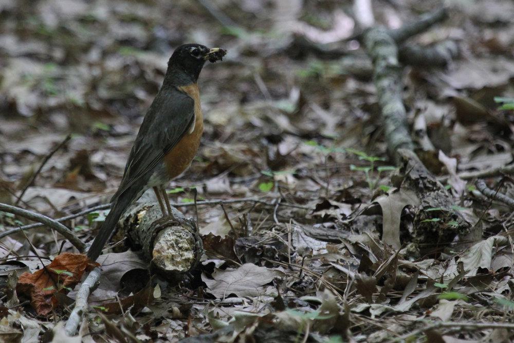 American Robin / 8 Jun / Stumpy Lake NA