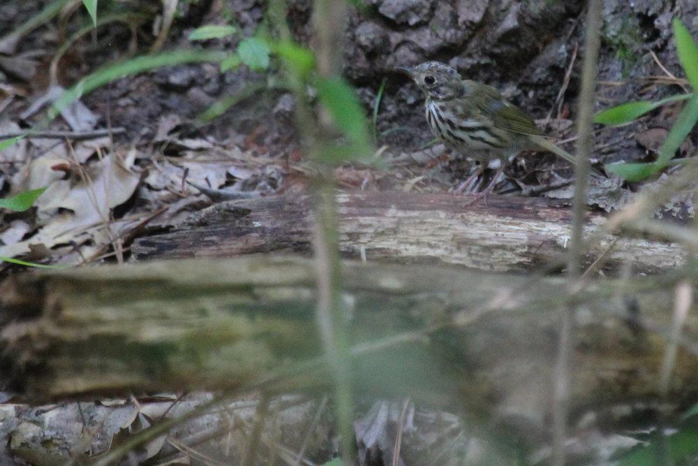 Ovenbird / 8 Jun / Stumpy Lake NA