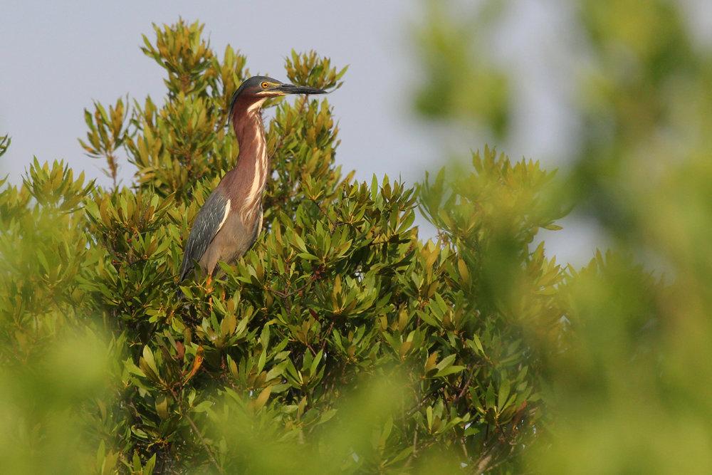 Green Heron / 9 Jun / Princess Anne WMA Whitehurst Tract