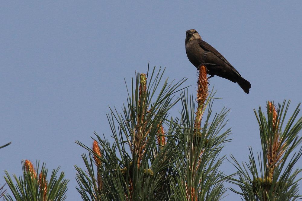 Brown-headed Cowbird / 9 Jun / Princess Anne WMA Whitehurst Tract
