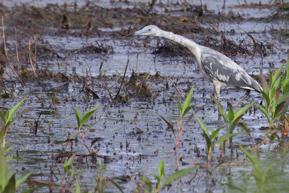 Little Blue Heron / 9 Jun / Princess Anne WMA Whitehurst Tract