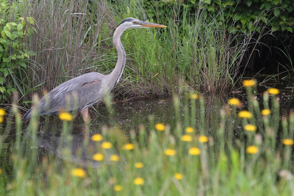 Great Blue Heron / 3 Jun / Back Bay NWR